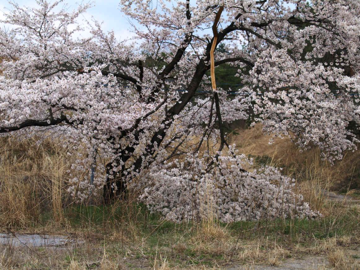 4月10日桜2010.jpeg